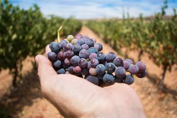 Racimo de uvas cogido por una mano en un viñedo