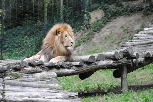 Papiers peints Lion Lion