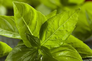 Fresh Green Organic Basil