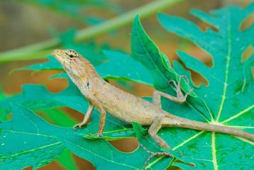 Thai native lizard or chameleon