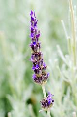 Single blue lavender flower