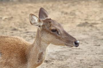Wild deer in Seraya island