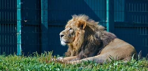 Asian Lion laying
