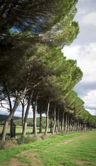 Long Access Road with Trees to the Farm in Italy (Tuscany)