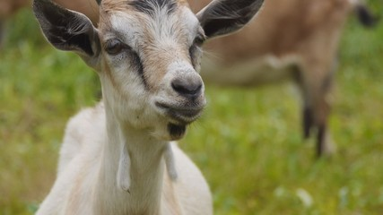 Muzzle domestic goat closeup
