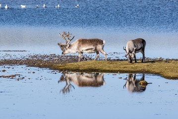Wild reindeers by the lake - Spitsbergen