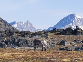 Wild reindeer in Arctic tundra - Svalbard