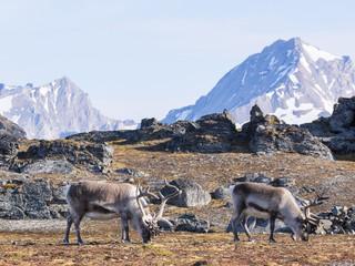 Wild reindeers and Arctic tundra - Spitsbergen, Svalbard