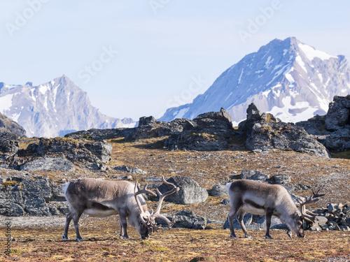 Staande foto Scandinavië Wild reindeers and Arctic tundra - Spitsbergen, Svalbard