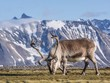 Wild Arctic reindeer at the front of the mountains