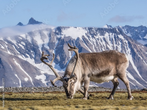 Staande foto Scandinavië Wild Arctic reindeer at the front of the mountains