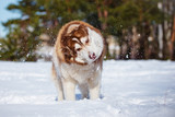 siberian husky dog shaking off snow