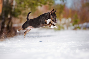 english bull terrier jumps