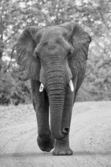 Angry and dangerous elephant bull charge along dirt road artisti