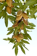 Almonds on a branch.