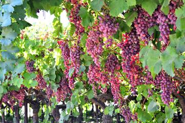 Wine grapes.