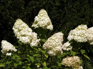 white blossoming hydrangea plant
