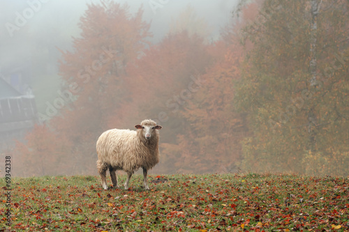 Foto op Aluminium Schapen sheep