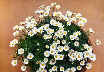 Daisies in pot