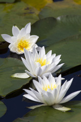 Three water lilies.