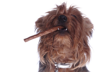 yorkshire terrier with stick meat in mouth