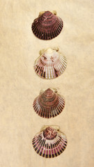 Pano of scallops.