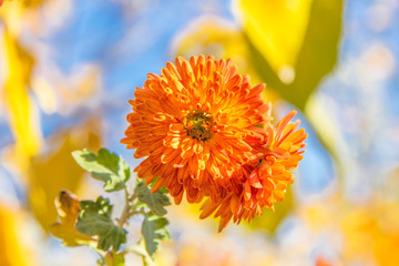 Two orange chrysanthemums