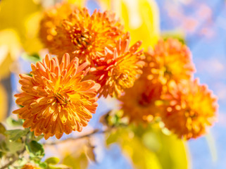 Orange chrysanthemums on a sunny autumn day