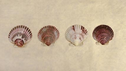 Scallop shells panoramic.