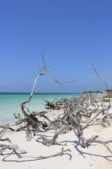 Dreaming Cuba through branches