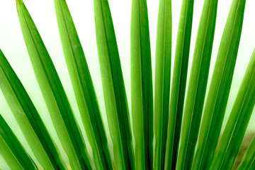 Fan Palm Leaf  Background