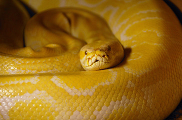 Coiled Burmese python (Python molurus bivittatus)