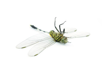 Dragonfly death  isolated on white background