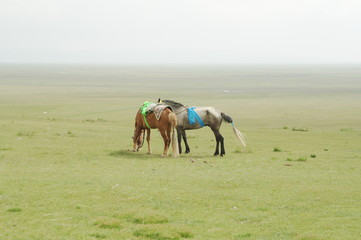 horse in the grassland of qinghai