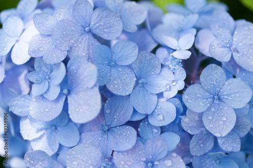 In de dag Hydrangea アジサイの花