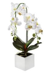 weisse freigestellte orchidee