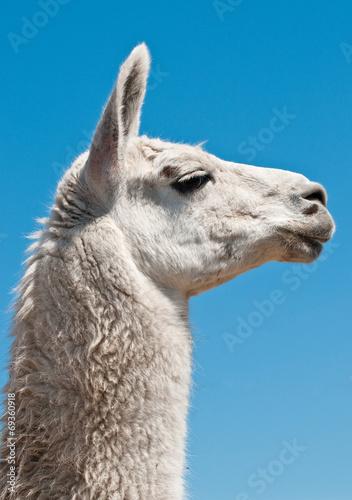 Foto op Plexiglas Lama White lama