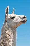 White lama