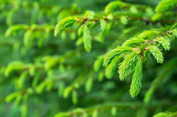 Vibrant background of spruce branches