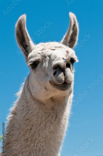 Foto op Aluminium Lama White lama