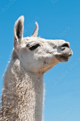 Foto op Aluminium Kameel White lama