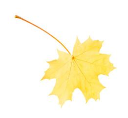 Autumn leaf flying on white background