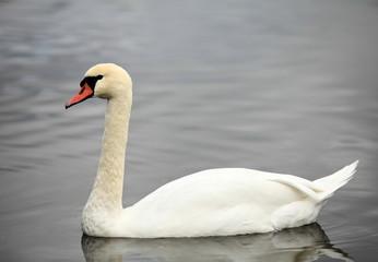 swan screamer