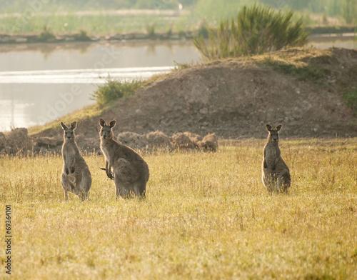 Poster Kangoeroe Kangaroos