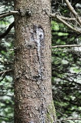 Resina di pino