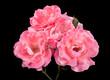Obrazy na płótnie, fototapety, zdjęcia, fotoobrazy drukowane : Pink rose on black