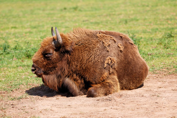 European Bison, also called the Wisent laying on the ground