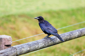 Crow sitting on a wooden fence against a green background