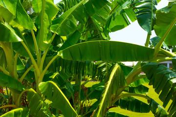 Tropic flora