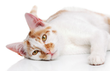 Young white and red cat on a white background